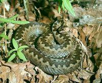 Common-viper--vipera-berus